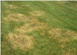 grass Southern Sodgrass
